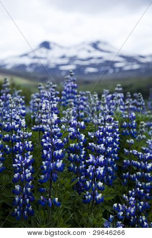 Iceland flowers poster