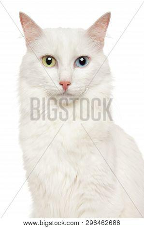 Close-up Of A Turkish Angora Cat, Isolated On White Background. Animal Themes
