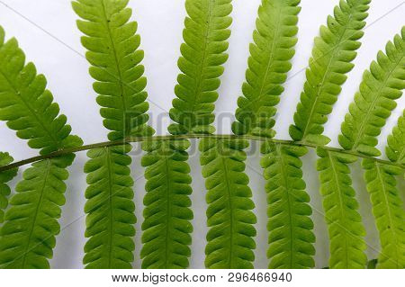 Close Up Of Compound Pinnate Green Leaves, Leaflets In Rows, Two At Tip. White Background. Horizonta