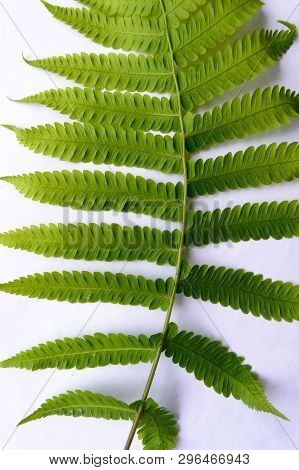 Close Up Of Compound Pinnate Green Leaves, Leaflets In Rows, Two At Tip. White Background. Vertical