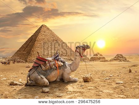 Camel And The Pyramids Of Giza In Egypt