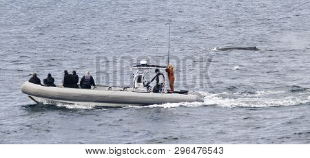 A Boat Of Whale Watchers Keeps Pace With A Humpback Whale Off The Coast Of San Diego, California, Us