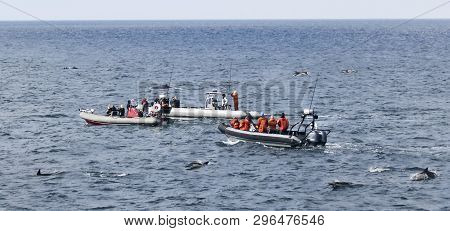 A Trio Of Whale Watching Boats Keeps Pace With A Humpback Whale While Surrounded By Common Dolphins