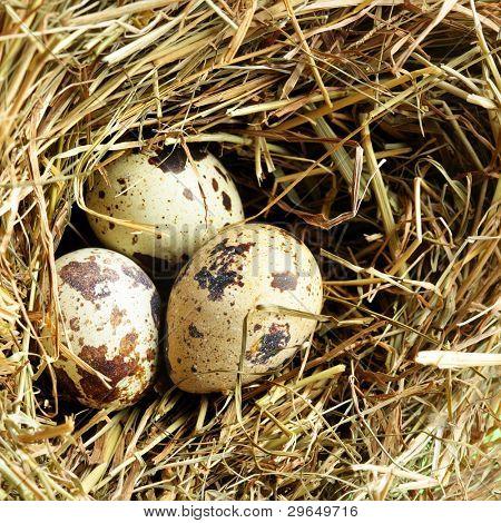 Nest with three quail eggs close up