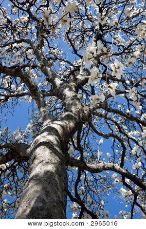 Flowering Tulip Tree