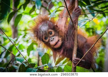 Worlds Cutest Baby Orangutan Hangs In A Tree In The Jungles Of Borneo