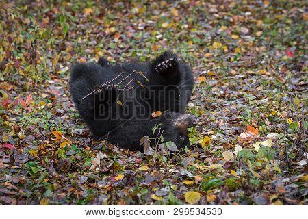 Black Bear (ursus Americanus) Rolls In Leaves Autumn - Captive Animal