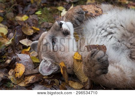 Cougar (puma Concolor) Rolling With Leaves Autumn - Captive Animal