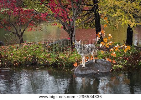 Coyote (canis Latrans) Stands On Rock Island Autumn - Captive Animal