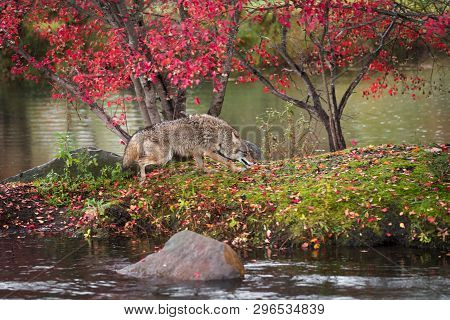 Coyote (canis Latrans) Runs Right On Island In Rain Autumn - Captive Animal