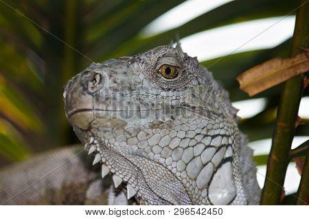 Green Eye White Scaled Iguana Smirking Expression