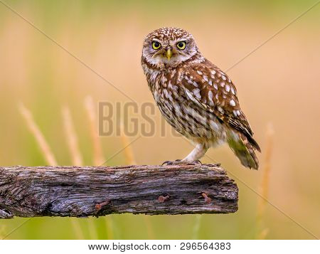Little Owl (athene Noctua) Nocturnal Bird Perched On Log And Looking At Camera