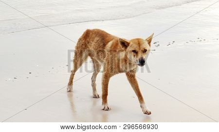A Menacing Wild Australian Dingo On A Fraser Island West Coast Beach, Queensland, Australia. This Tr