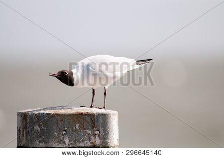 A Black-headed Gull -chroicocephalus Ridibundus-  Sitting On A  Mooring Post, Along The Afsluitdijk,