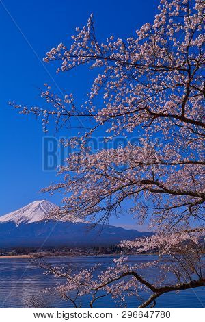 Cherry Tree And Mt.fuji Of Nagasaki Park In Lake Kawaguchi Japan 04/16/2019