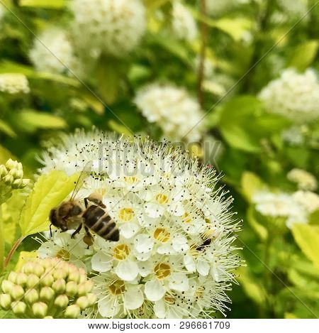 Winged Bee Slowly Flies To The Plant, Collect Nectar For Honey On Private Apiary From Flower. Honey