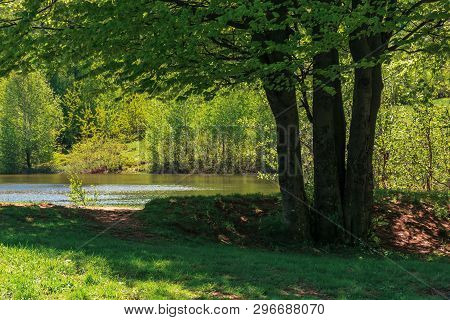 Beech Tree On The Shore Of A Lake.  Beautiful Summer Nature Scenery.