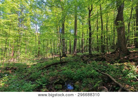 Beech Forest In Summer. Lush Trees In The Dense Woods On A Sunny Summer Day. Beautiful Nature Scener