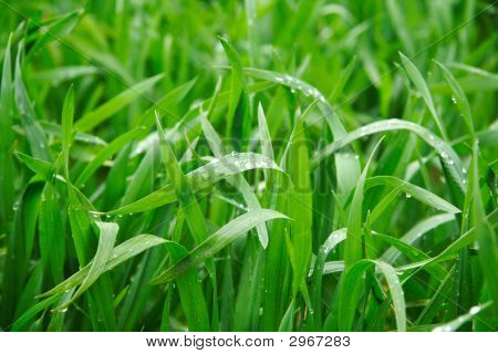Spring Corn In Spring Shower