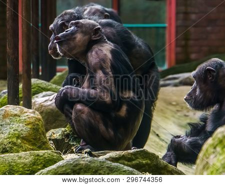 Chimpanzee Mother Holding Her Baby, Chimpanzees With Alopecia Areata, Common Animal Diseases