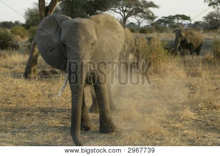 Charging elephant kicking up dust in Tanzania Africa. poster