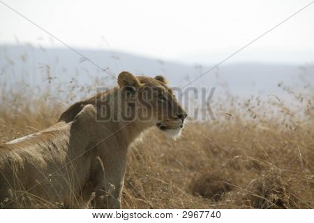 Lioness In Grass