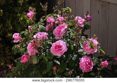 This Is An Image Of A Rose Bush In Full Blum Taken In Morning Sun In Carmel. California.