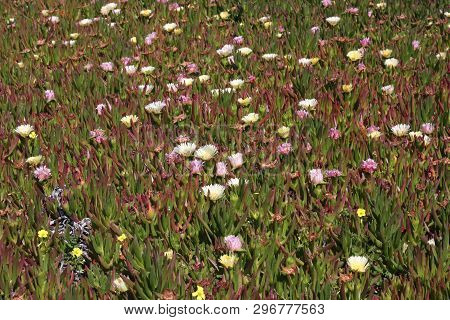 This Is An Image Of Ice Plant With Flowers In Full Bloom Taken Along The Shoreline Of Pacific Grove,