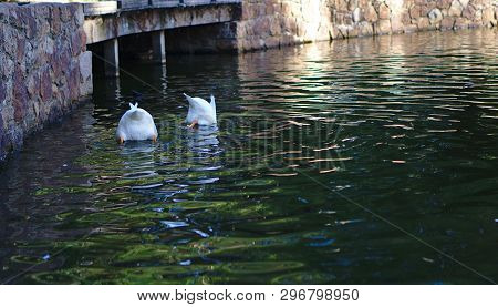 Distant View Of Babbling White Ducks Go Upside Down In Water
