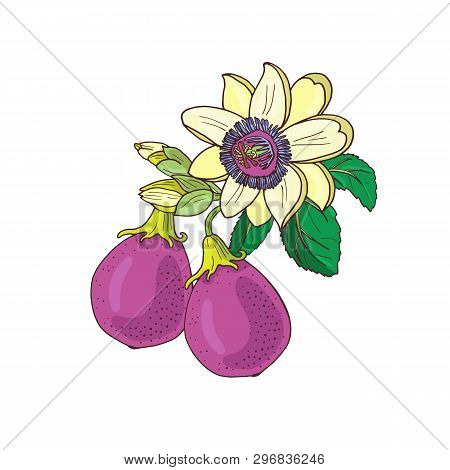 Passionflower Passiflora, Passion Purple, Violet Fruit On A White