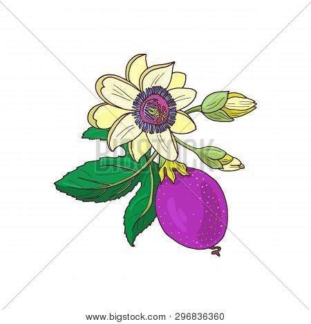 Passionflower Passiflora, Passion Purple, Violet Fruit On A White Background