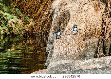 Image Of Pied King Fisher Bird Standing Calmly On The Banks Of The Nile River At Aswan Egypt