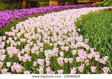 Pink and magenta tulips