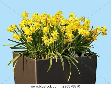 Beautiful Sunlit Yellow Daffodils In A Garden Vase Against Blue Background