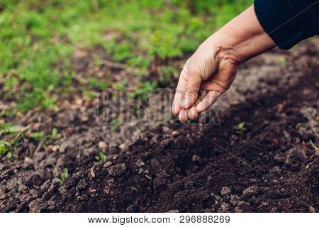 Farmers Hand Planting A Seed In Soil. Senior Woman Sowing Parsley In Spring Garden