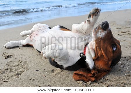 picture of puppy purebred basset hound on a beach poster