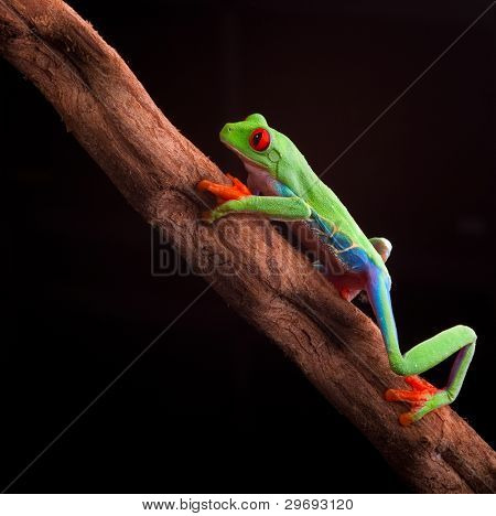 red eyed tree frog at night in tropical rainforest treefrog Agalychnis callydrias in jungle Costa Rica bright vivid colors climbing on branch