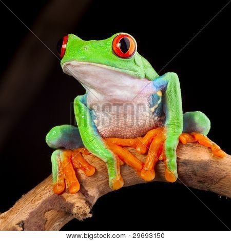 red eyed tree frog at night in tropical rainforest treefrog Agalychnis callydrias in jungle Costa Rica bright vivid colors beautiful colorful rainforest animal