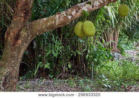 Green Jackfruit On Tree And Salacca Zalacca Tree As Background