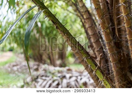 Thorn Of Salacca Zalacca With Blur Green Leaves With Boken