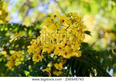 Close-up Of Yellow Flower On A Tree In Jardim Botanico Garden On Portuguese Island Of Madeira