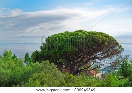 Tropical Nature Scene Of A Tree Against Cloudy Sky. Portuguese Island Of Madeira