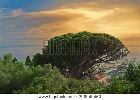 Tropical Tree Against Cloudy Sky At Colorful Sunset. Portuguese Island Of Madeira