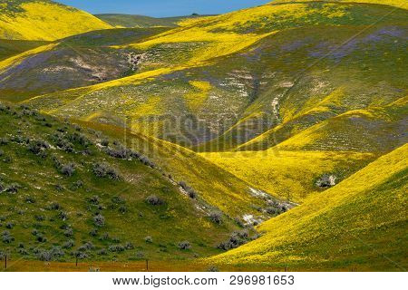 Beautiful Yellow Hills Covered In Hillside Daisies And Goldfield Wildflowers At Carrizo Plain Nation