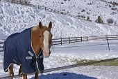 Brown horse with blue blanket on snowy winter morning Cordillera Colorado poster