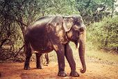 Indian elephant with tusks cut off. Nature reserve poster