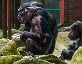 chimpanzee mother holding her baby, chimpanzees with alopecia areata, common animal diseases poster