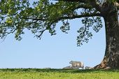 Spring lambs and sheep sheltering in the shade under the branches of an oak tree with a blue sky to the rear. poster