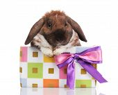 Lop-eared rabbit in a gift box with purple bow isolated on white poster