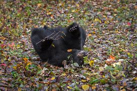 Black Bear (ursus Americanus) Rolls In Leaves Autumn - Captive Animal